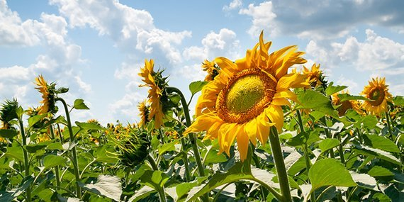 Flower beautiful sunflower. Blooming sunflower flowers on a sunflowers field and a blue sky with white clouds background. Natural background.